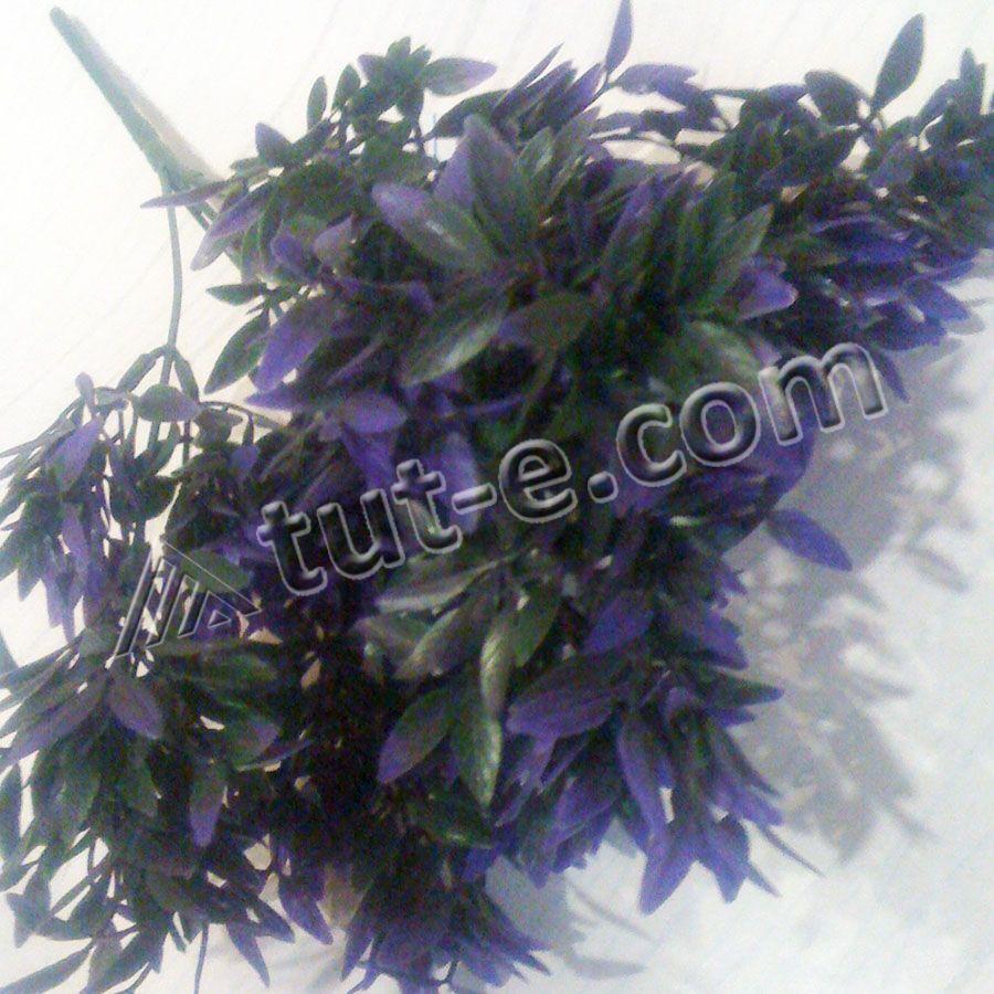 Травка с ярко фиолетовой листвой - Изображение 2